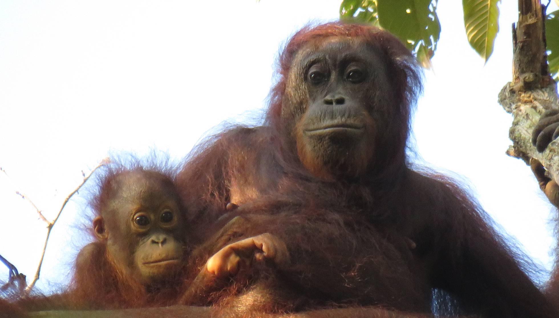 aceite de palma orangutan